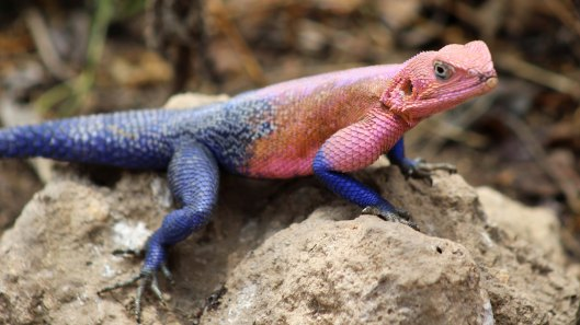 170302-male-agama-lizard-4
