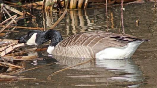 170307-canada-goose-1