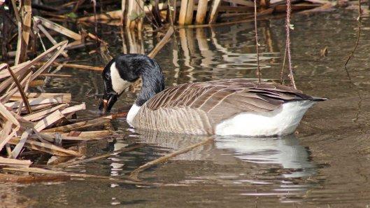 170307-canada-goose-2