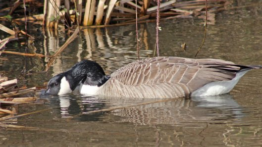 170307-canada-goose-3