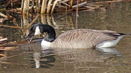 170307-canada-goose-4