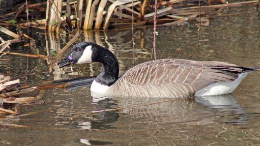 170307-canada-goose-5