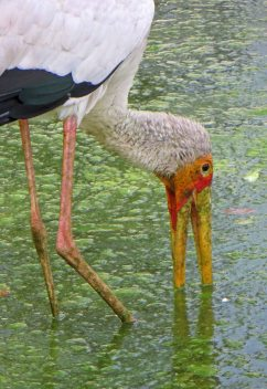 170309-yellow-billed-stork-2