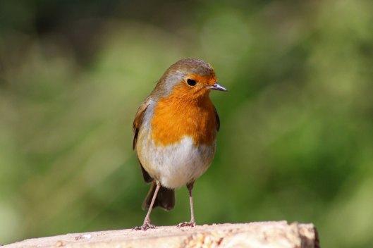 170313-mr-grumpy-robin-1