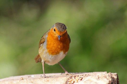 170313-mr-grumpy-robin-2
