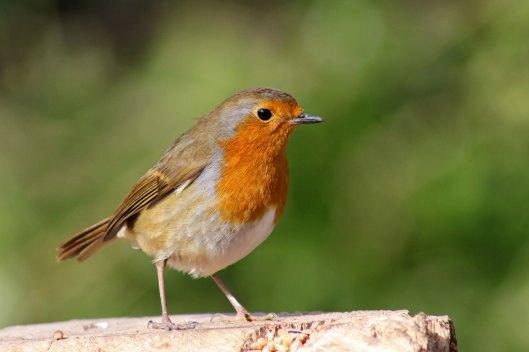 170313-mr-grumpy-robin-3