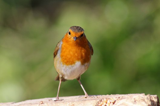 170313-mr-grumpy-robin-4