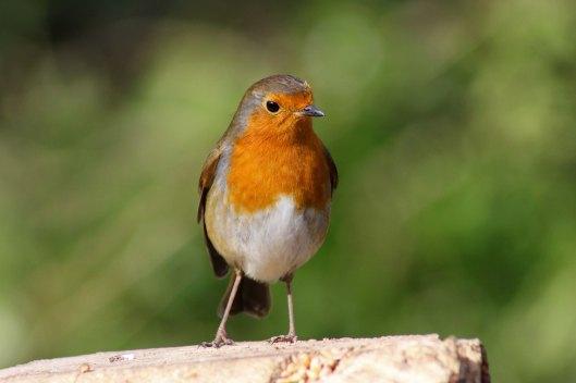 170313-mr-grumpy-robin-5
