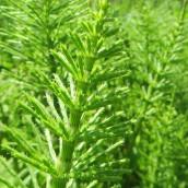 170317 green 10 Horsetail