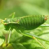 170317 green 12 Speckled bush Cricket