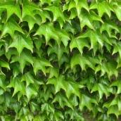 170317 green 2 ivy