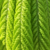 170317 green 6 horse chestnut