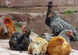 170319 poultry peru (2)