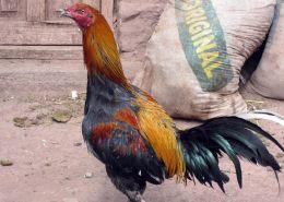 170319 poultry peru (3)