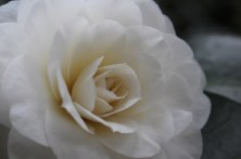 170324 Camellia Bute Park (1)