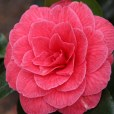 170324 Camellia Bute Park (2)