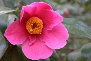 170324 Camellia Bute Park (3)