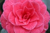 170324 Camellia Bute Park (4)