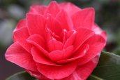 170324 Camellia Bute Park (7)