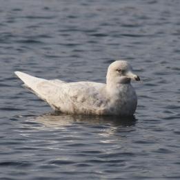 170327 Iceland gull (2)