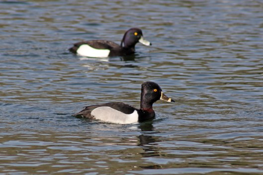 170327 Ring-necked duck (2)