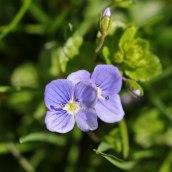 170328 weed or wildflower (3)