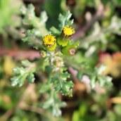 170328 weed or wildflower (5)