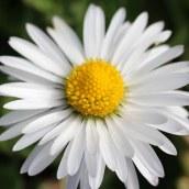 170328 weed or wildflower (6)