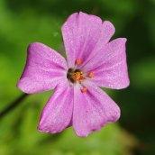 170328 weed or wildflower (7)