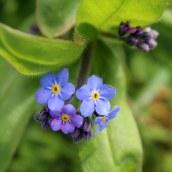 170328 weed or wildflower (8)
