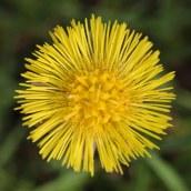 170328 weed or wildflower (9)