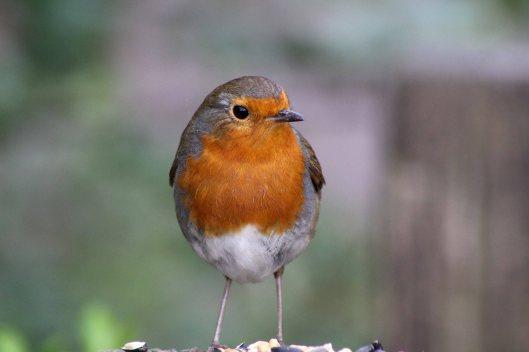170330 robin redbreast