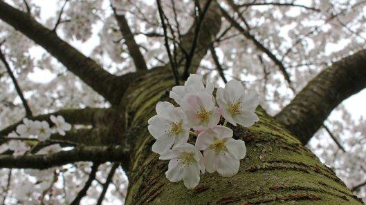 170402 Bute blossom (1)