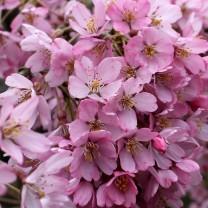 170402 Bute blossom (2)