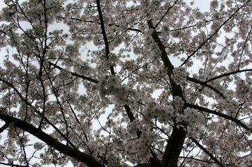 170402 Bute blossom (3)