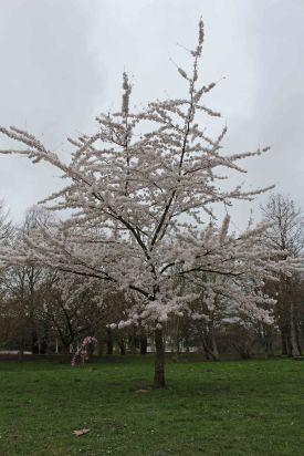170402 Bute blossom (4)