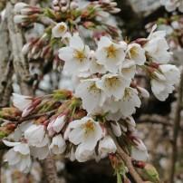 170402 Bute blossom (5)