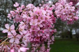 170402 Bute blossom (6)