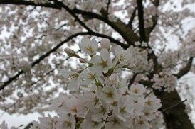 170402 Bute blossom (7)