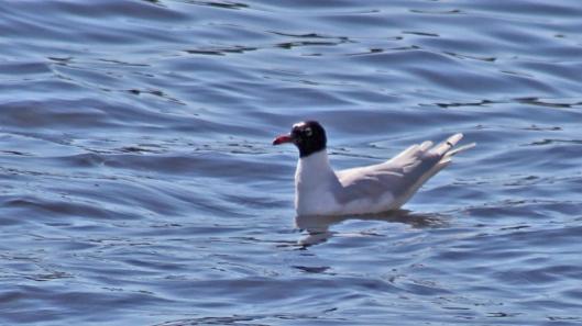 170406 Mediterranean gull (1)