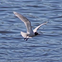 170406 Mediterranean gull (2)