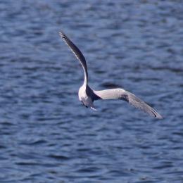 170406 Mediterranean gull (3)