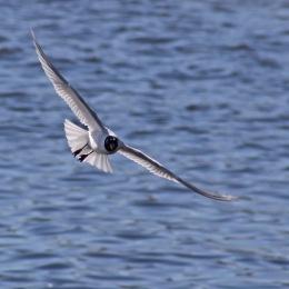 170406 Mediterranean gull (5)