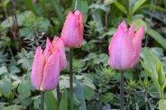 170407 Penarth station blooms (3)