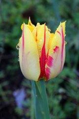 170407 Penarth station blooms (6)