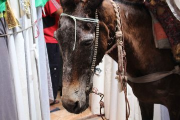 170412 Moroccan donkeys horses mules (3)