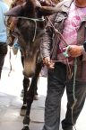 170412 Moroccan donkeys horses mules (5)