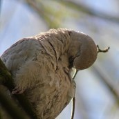 170413 Collared dove (1)