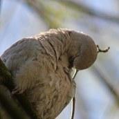 170413 Collared dove (1)