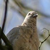 170413 Collared dove (2)